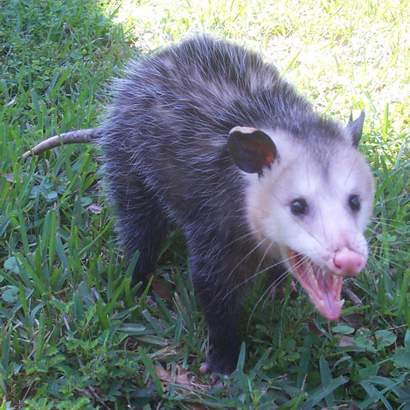 Opossum Kansas Cute Baby Opossum Phot...