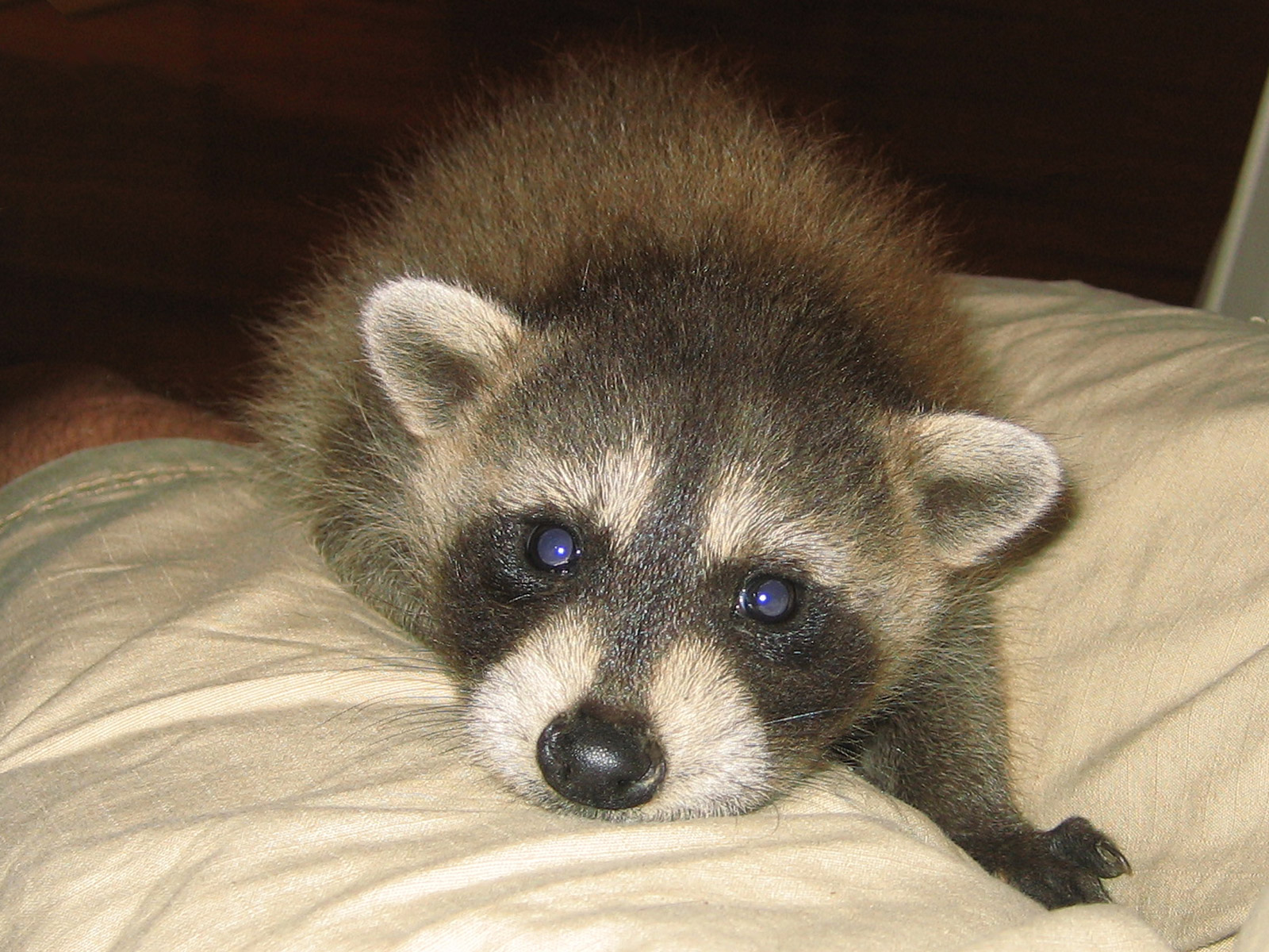 Cute Baby Raccoon Photos Raccoon Photographs Pictures