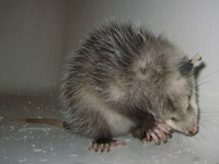 Opossum Photograph Gallery Pictures Amp Images