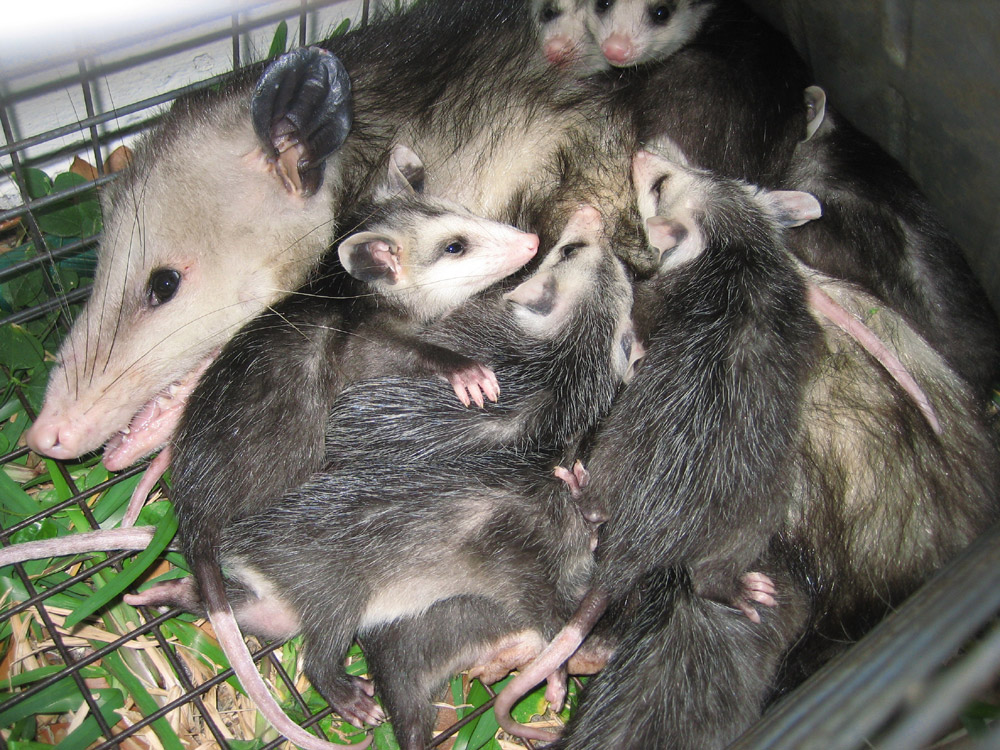 how to get rid of possums under my deck