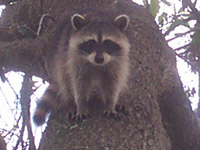 Raccoon Photograph Gallery Pictures Amp Images