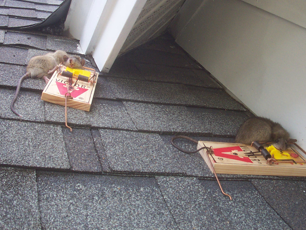 Roof Rat   Rattus Rattus.