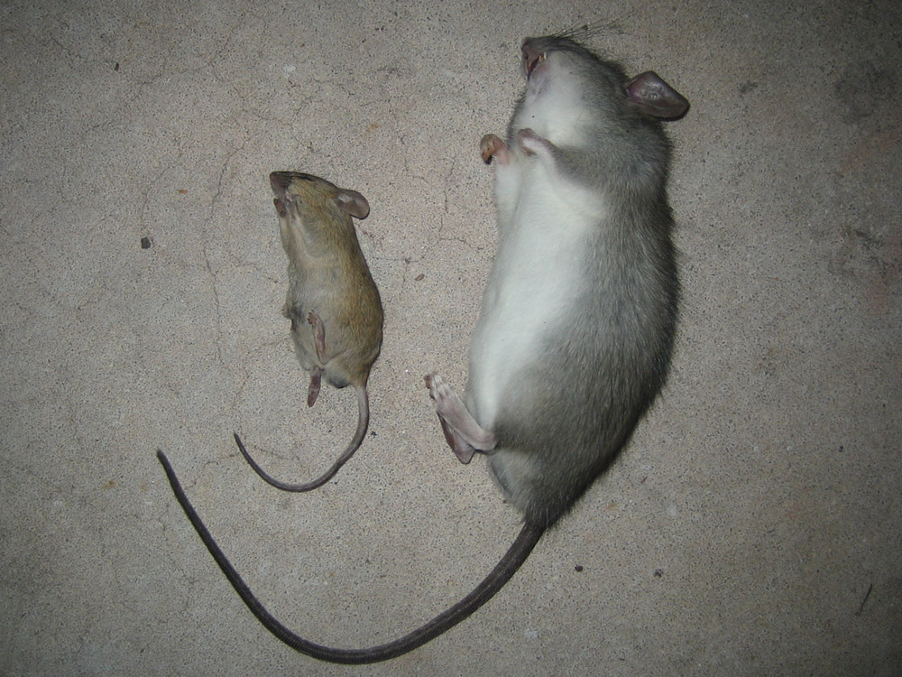 Rat Photograph Gallery Pictures Amp Images