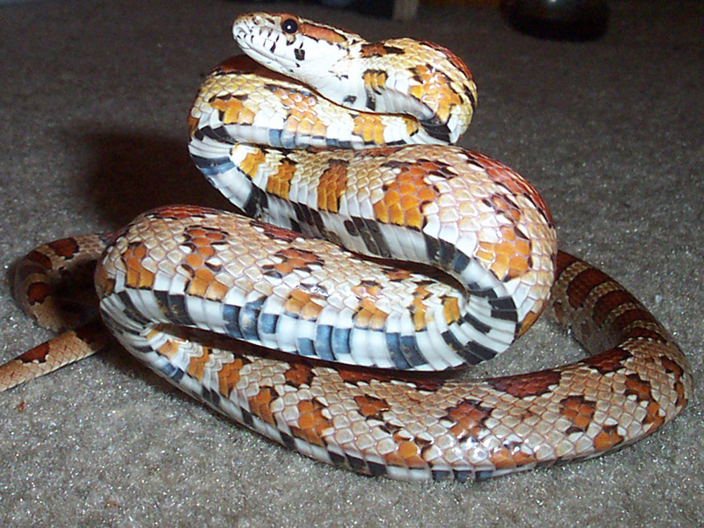 Images of Corn Snakes How do Corn Snakes Get Into