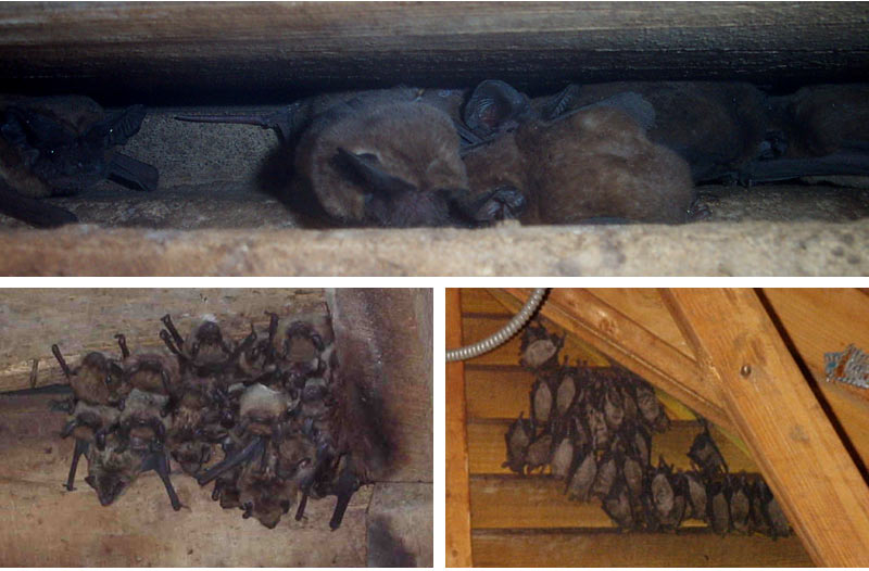 Bats In The Attic How To Get Rid Of Amp Remove