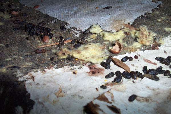 Rats Leave Droppings (Poop) in the Attic