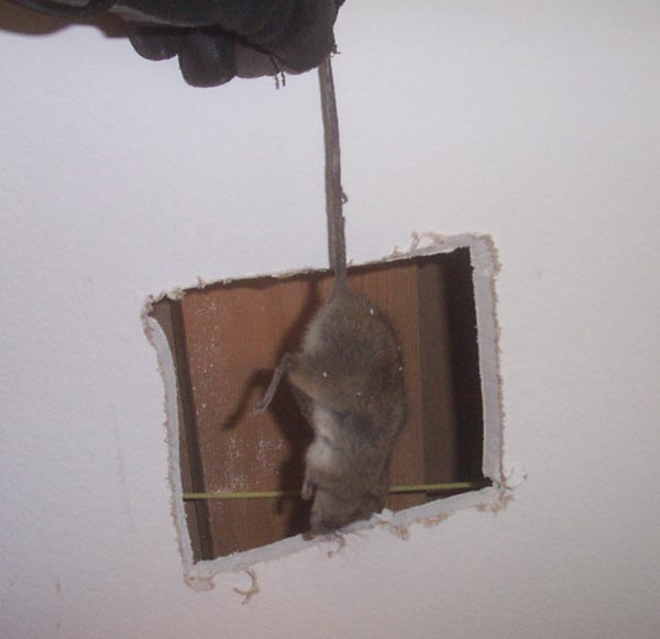 how to get rid of rats inside walls