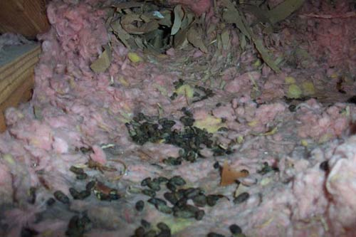Squirrel Contamination In An Attic Droppings And Urine