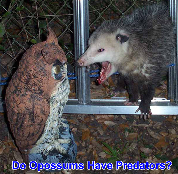 Do opossums have any natural predators?