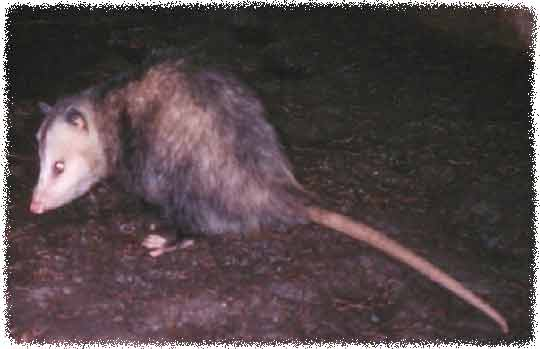 Orlando Florida Opossum Removal - How To Get Rid Of Opossums ...