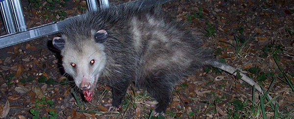 Need opossum trapping? As of 2018 we service over 500 USA ...