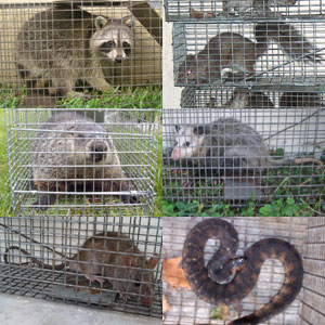 Los Angeles Exterminator La Pest Control Raccoon Rat
