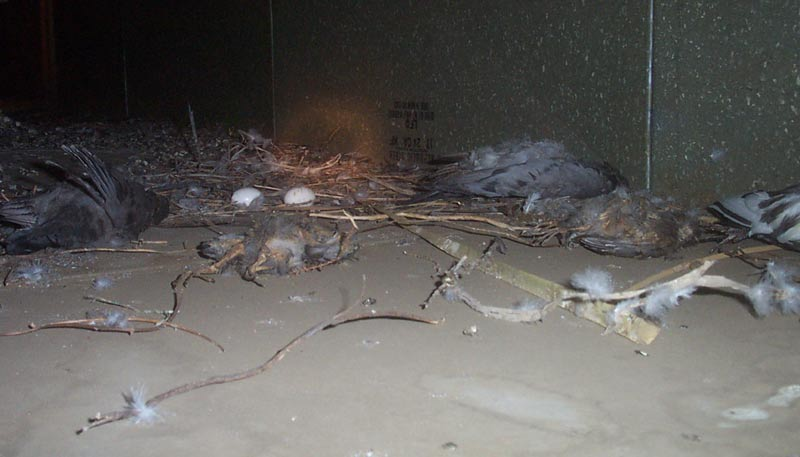 Pigeon Droppings Contaminate Ducts Of Building
