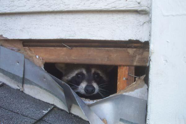 Raccoon Living In Attic Of Apartment Building