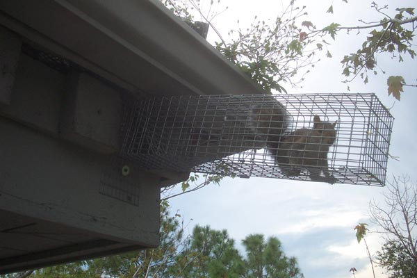 Squirrels Chew Through Wood To Get Into The Attic