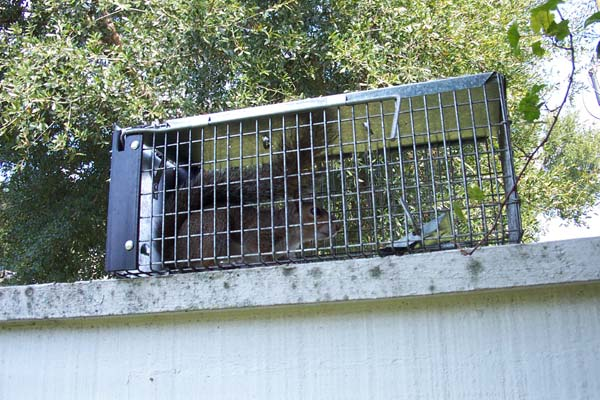 Squirrel Trapping How To Trap Squirrels