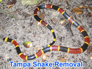 Tampa Snake Control Removal Trapping Exterminaton Company