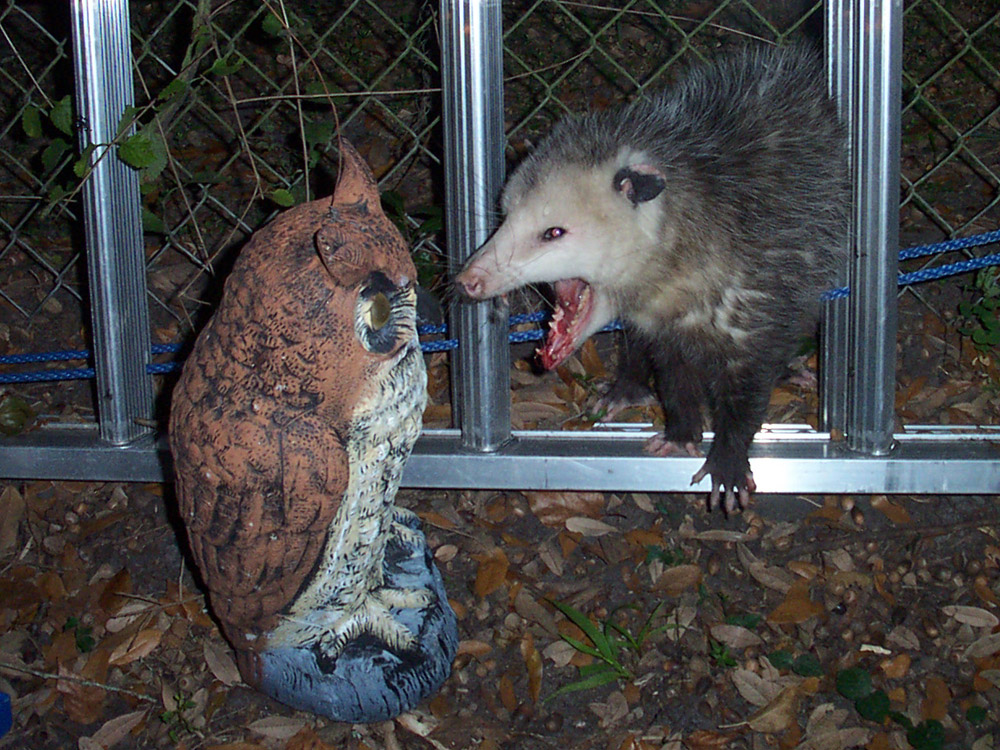 Opossum Photograph 026 Opossums Are Threatened By