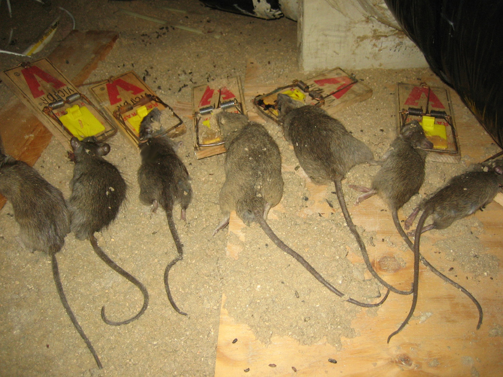 Rat Photograph 003 Some Attics Are Infested With Rats