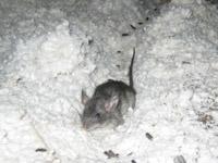 Rat Photograph Gallery Photos Of Rats