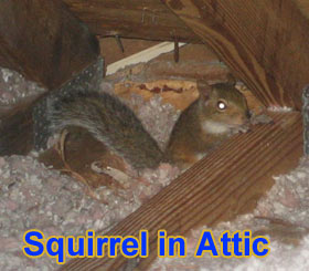 Animals In The Attic How To Get Animals Out Of An Attic
