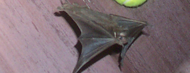 How To Get Rid Of Bats Without Killing Them How To Wire A Bat Yourself on wire hat, wire dream catcher, wire bee, wire bit, wire frog, wire octopus, wire lizard,