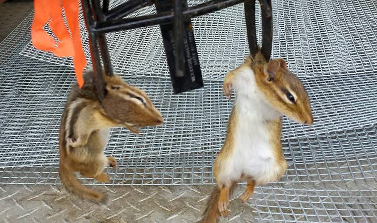 Will Chipmunks Eat Rat Poison Collection Of Rat Types