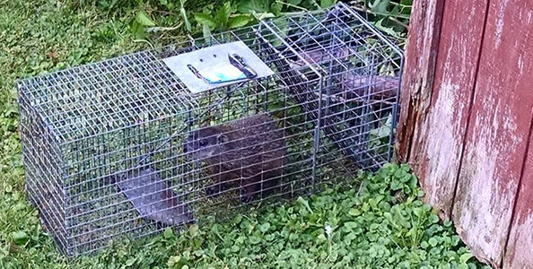 How do you keep woodchucks out of the garden garden ftempo How do you keep rabbits out of your garden