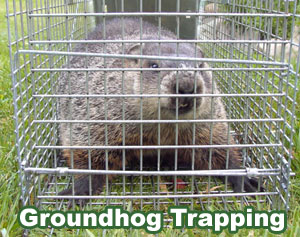 How To Wiki Tutorial How To Get Rid Of Groundhogs