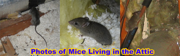How to get rid of mice in the attic mice most commonly live in the attic because its a safe place in which to live and make a nest to raise young your attic is dry and weather protected ccuart Gallery