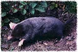 Do Moles Have Roots http://www.aaanimalcontrol.com/professional-trapper/howtogetridofmoles.htm