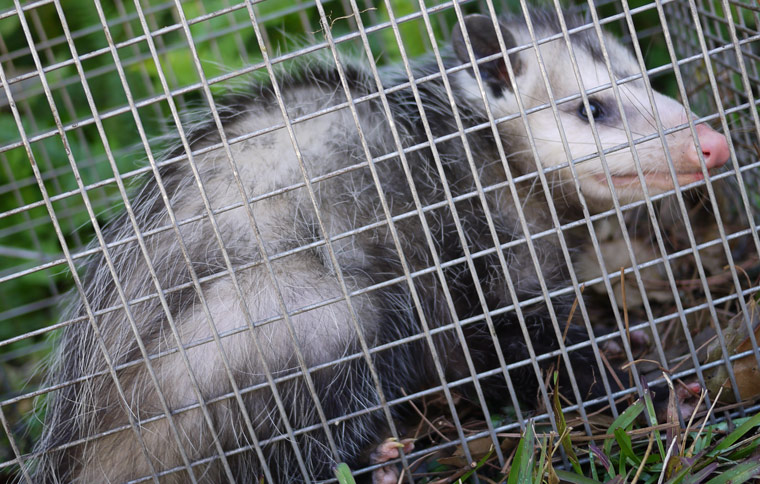 What if you are bitten by an opossum