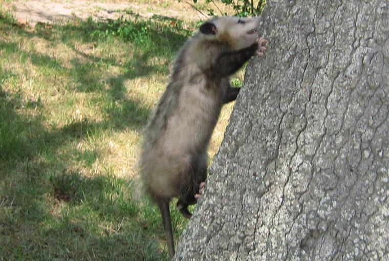 70ad486d6 Do possums climb well jpg 760x510 Baby possum cartoon