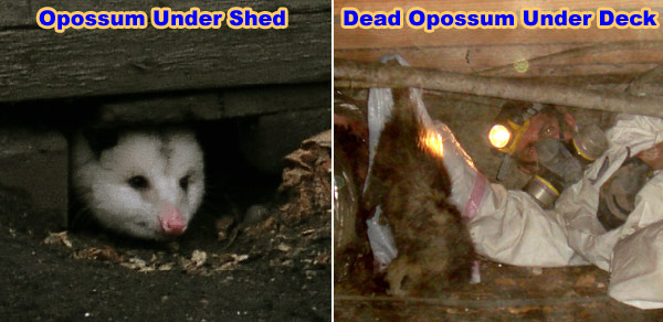The easiest way to get rid of opossums is to prevent them from becoming a  problem in the first place. Some ways that you can prevent opossums from  being ... - How To Keep Away Opossums From Your Yard, House, Property
