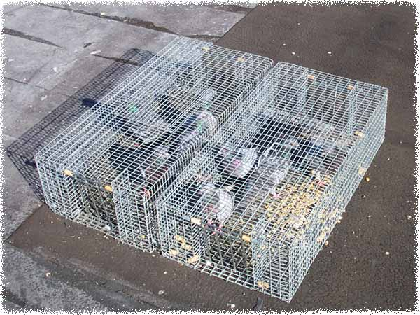how to make a live bird trap