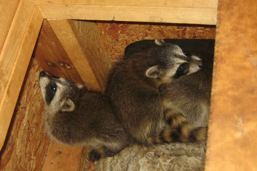 Raccoons In The Attic How To Get Raccoons Out Of An