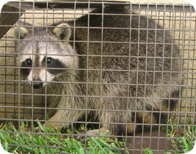 Image of: Trapped Aaanimal Control How To Get Rid Of Raccoons