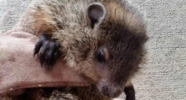 How To Get Rid Of Raccoons Without Killing Them