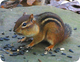 Chipmunk Trapping Tips Type of Trap and Bait