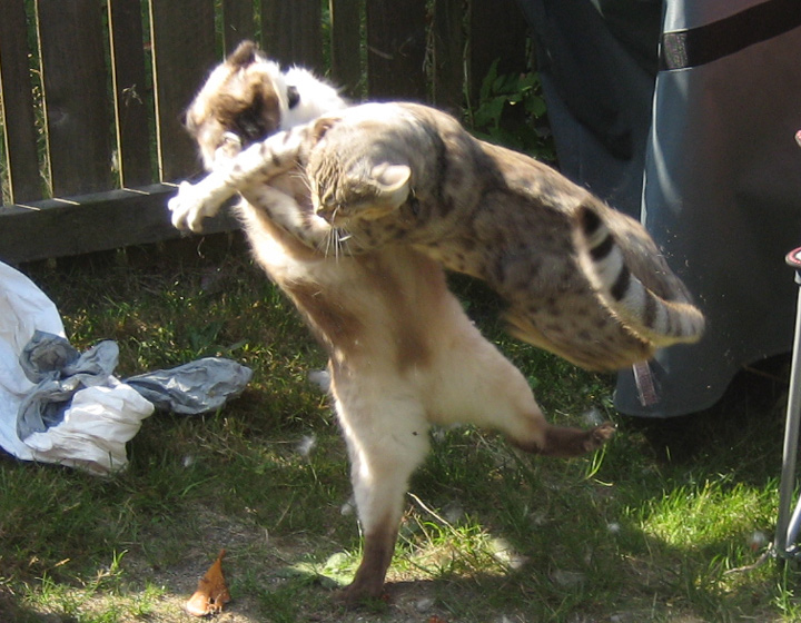 Stray Cat Fighting Photos What To Do About Fighting And Spraying